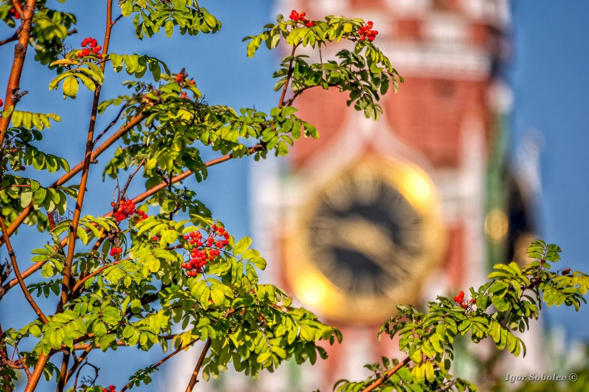 Mountain ash on the background of the clock of the Spasskaya tower of the Moscow Kremlin