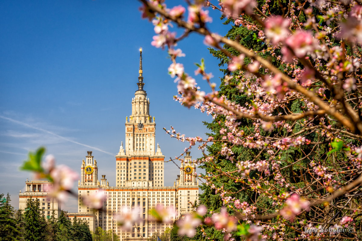 The main building of Moscow State University on a background of blooming cherry