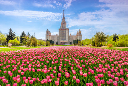 The main building of Moscow State University on the background of blooming tulips