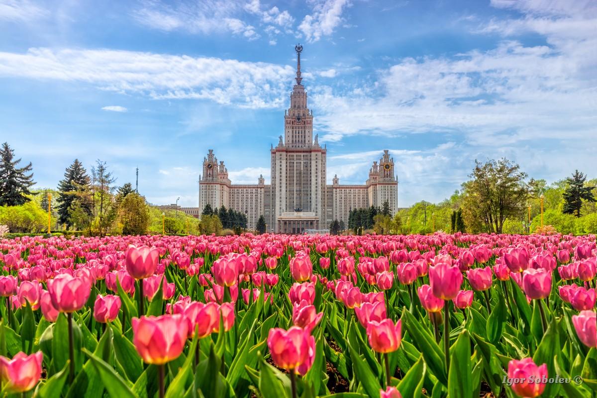 Главное здание Московского Государственного Университета на фоне цветущих тюльпанов