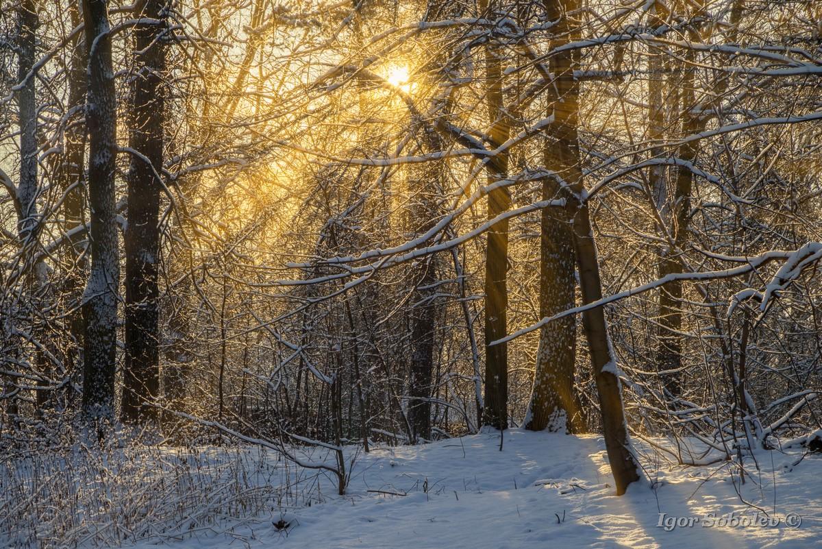 Солнечные лучи в зимнем лесу